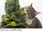 Купить «Кот обнюхивает новогоднюю елку», фото № 4005202, снято 1 января 2012 г. (c) Okssi / Фотобанк Лори