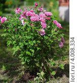 Садовый цветок хризантема. Стоковое фото, фотограф Алексей Алексеев / Фотобанк Лори
