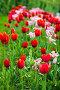 Красные и розовые тюльпаны в парке, фото № 4008766, снято 27 мая 2012 г. (c) Игорь Соколов / Фотобанк Лори