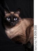 Сиамская кошка окрас сил-пойнт крупным планом на черном фоне. Стоковое фото, фотограф Leva Vasilyeva / Фотобанк Лори