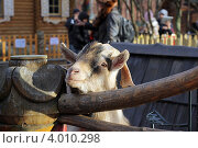 Козел в Ленинградском зоопарке. Стоковое фото, фотограф Джакобия Екатерина / Фотобанк Лори