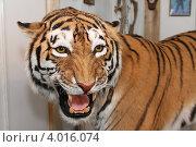 Чучело тигра (2012 год). Редакционное фото, фотограф Андрей Кротов / Фотобанк Лори