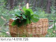 Корзинка с веточками ежевики в лесу. Стоковое фото, фотограф Алексеева Оксана / Фотобанк Лори
