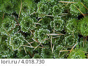 Фон из листьев камнеломки в инее. Стоковое фото, фотограф Алексеева Оксана / Фотобанк Лори