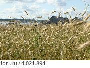 Рожь на деревенском поле. Стоковое фото, фотограф Анна Андреева / Фотобанк Лори