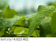 Виноградные листья с росой. Стоковое фото, фотограф Даниил Безуглов / Фотобанк Лори