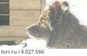 Цепной пес в профиль зимой. Стоковое видео, видеограф Yaroslav Bokotey / Фотобанк Лори