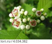 Купить «Распускающиеся цветы боярышника», фото № 4034382, снято 20 мая 2012 г. (c) Светлана Ильева (Иванова) / Фотобанк Лори