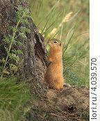 Суслик стоит у своей норы в корнях старой березы. Стоковое фото, фотограф Татьяна Нестерова / Фотобанк Лори