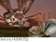 Купить «Завершение полёта майского жука на цветок яблони поздним весенним вечером в заброшенном саду», фото № 4039722, снято 1 июня 2011 г. (c) Забалуев Игорь Анатолич / Фотобанк Лори