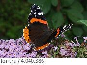 Бабочка на будлее. Стоковое фото, фотограф Александров Александр Морисович / Фотобанк Лори