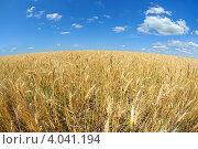 Купить «Пшеница», фото № 4041194, снято 15 июля 2011 г. (c) Игорь Ткачёв / Фотобанк Лори