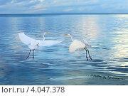 Купить «Две цапли, взлетающие над морем», фото № 4047378, снято 16 марта 2008 г. (c) Татьяна Белова / Фотобанк Лори