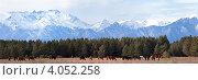 Табун лошадей, пасущихся  в предгорной Тункинской Долине на фоне заснеженных гор. Панорама. Стоковое фото, фотограф Виктория Катьянова / Фотобанк Лори