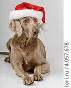 Купить «Породистая собака в шляпе Санты», фото № 4057678, снято 15 октября 2011 г. (c) Tatjana Baibakova / Фотобанк Лори