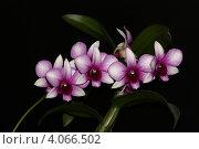 Орхидея. Стоковое фото, фотограф Александр Масалев / Фотобанк Лори