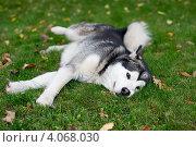 Аляскинский маламут. Стоковое фото, фотограф Виноградова Елена / Фотобанк Лори