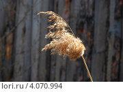 Купить «Веточка тростника», фото № 4070994, снято 11 мая 2009 г. (c) Анна Омельченко / Фотобанк Лори
