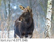 Купить «Лось в зимнем березовом лесу», фото № 4071046, снято 6 февраля 2010 г. (c) Эдуард Кислинский / Фотобанк Лори