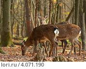 Олени пасутся в лесу. Стоковое фото, фотограф Эдуард Кислинский / Фотобанк Лори