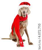 Купить «Собака в шапочке Санта Клауса сидит на белом фоне», фото № 4072710, снято 11 ноября 2012 г. (c) Tatjana Baibakova / Фотобанк Лори
