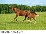 Лошадь бежит по полю с жеребенком. Стоковое фото, фотограф Эдуард Кислинский / Фотобанк Лори