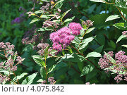 Купить «Спирея японская (Spiraea japonica)», эксклюзивное фото № 4075842, снято 20 июня 2012 г. (c) lana1501 / Фотобанк Лори