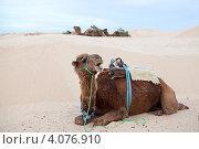 Купить «Верблюд, лежащий на песке и караван, проходящий мимо в пустыне Сахара, Тунис», фото № 4076910, снято 2 мая 2012 г. (c) Кекяляйнен Андрей / Фотобанк Лори