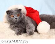 Купить «Красивый британский кот и новогодний колпак», фото № 4077758, снято 3 декабря 2012 г. (c) Останина Екатерина / Фотобанк Лори