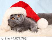 Купить «Красивый британский кот и новогодний колпак», фото № 4077762, снято 3 декабря 2012 г. (c) Останина Екатерина / Фотобанк Лори