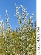 Полынь. Лекарственные травы. Стоковое фото, фотограф Павел Спирин / Фотобанк Лори