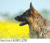 Купить «Немецкая овчарка на летнем лугу», фото № 4081278, снято 28 мая 2011 г. (c) Эдуард Кислинский / Фотобанк Лори