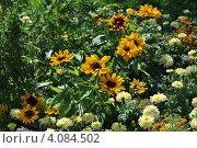 Купить «Цветы рудбекии (Rudbeckiа) и бархатцев (Tagetes)», эксклюзивное фото № 4084502, снято 29 июля 2012 г. (c) lana1501 / Фотобанк Лори