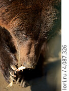 Купить «Бурый медведь», фото № 4087326, снято 20 октября 2012 г. (c) Эдуард Кислинский / Фотобанк Лори