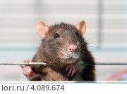 Крыса в клетке. Стоковое фото, фотограф Роман Прохоров / Фотобанк Лори