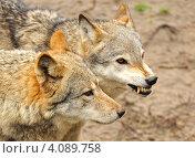Купить «Два волка крупным планом», фото № 4089758, снято 9 апреля 2012 г. (c) Эдуард Кислинский / Фотобанк Лори