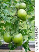 Купить «Зеленые помидоры в парнике», эксклюзивное фото № 4091634, снято 4 августа 2012 г. (c) Елена Коромыслова / Фотобанк Лори
