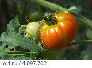 Купить «Зреющие помидоры на грядке», эксклюзивное фото № 4097702, снято 4 августа 2012 г. (c) Елена Коромыслова / Фотобанк Лори