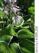 Купить «Декоративное растение хоста (лат. Hosta)», эксклюзивное фото № 4099250, снято 23 июля 2012 г. (c) lana1501 / Фотобанк Лори
