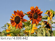 Купить «Декоративный подсолнух (Helianthus annuus L.)», эксклюзивное фото № 4099442, снято 29 июля 2012 г. (c) lana1501 / Фотобанк Лори