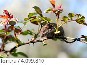 Купить «Мышь на ветке дерева», фото № 4099810, снято 25 апреля 2008 г. (c) Эдуард Кислинский / Фотобанк Лори