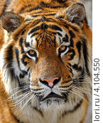 Портрет амурского тигра. Стоковое фото, фотограф Эдуард Кислинский / Фотобанк Лори