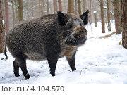 Купить «Дикий толстый кабан в зимнем лесу», фото № 4104570, снято 6 февраля 2010 г. (c) Эдуард Кислинский / Фотобанк Лори