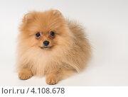 Купить «Рыжая декоративная собачка померанский шпиц», фото № 4108678, снято 4 декабря 2012 г. (c) Vladimir Suponev / Фотобанк Лори