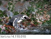 Магелланов пингвин (Spheniscus magellanicus) прыгает в воду в естественной среде обитания на архипелаге Чилоэ, Чили (2010 год). Стоковое фото, фотограф Nadejda Trifonova Jeraj / Фотобанк Лори