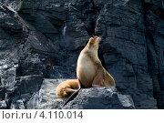 Тюлени в естественной среде обитания на архипелаге Чилоэ, Чили (2010 год). Стоковое фото, фотограф Nadejda Trifonova Jeraj / Фотобанк Лори
