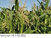 Купить «Кукуруза обыкновенная (лат. – Zea mays)», эксклюзивное фото № 4116002, снято 29 июля 2012 г. (c) lana1501 / Фотобанк Лори