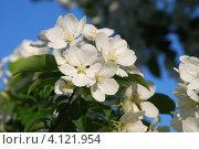 Купить «Крупные цветы яблони на фоне голубого неба», фото № 4121954, снято 19 января 2020 г. (c) Анна Омельченко / Фотобанк Лори
