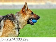 Купить «Немецкая овчарка с мячом в зубах», фото № 4133298, снято 30 мая 2010 г. (c) Эдуард Кислинский / Фотобанк Лори
