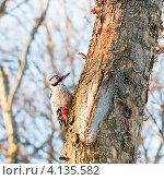 Купить «Дятел сидит на дереве», эксклюзивное фото № 4135582, снято 20 декабря 2012 г. (c) Игорь Низов / Фотобанк Лори